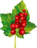 Rote Johannisbeere Stockbilder