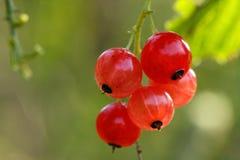 Rote Johannisbeere Stockfoto