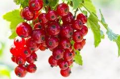 Rote Johannisbeere auf Zweigen Lizenzfreie Stockfotos