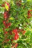 Rote Johannisbeere Bushs Lizenzfreie Stockfotografie