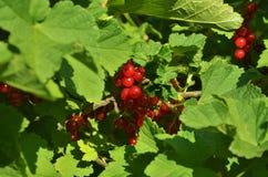 Rote Johannisbeere der Ernte auf dem Plan stockbild