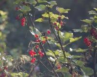 Rote Johannisbeere, die an einem Busch im Garten hängt Stockbild