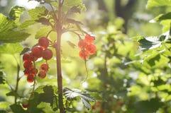 Rote Johannisbeere im Garten in den Strahlen der untergehenden Sonne Das Konzept des Sommers, Natur, Vitamine Nahaufnahme, Weichz stockfoto