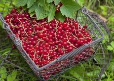Rote Johannisbeere im Korb Stockfotos