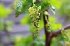 Rote Johannisbeere, Ribes, grüne Blüten im Vorfrühling stockfotografie