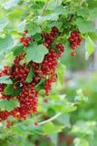 Rote Johannisbeeren Stockfotografie