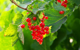 Rote Johannisbeeren, die im Garten wachsen Stockbild