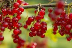 Rote Johannisbeeren im Garten Stockbilder