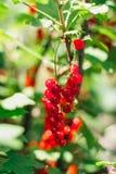 Rote Johannisbeeren im Garten Stockfoto