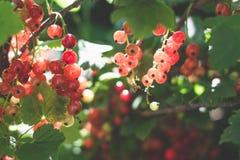 Rote Johannisbeeren im Garten Lizenzfreie Stockfotos