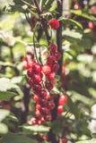 Rote Johannisbeeren im Garten Lizenzfreies Stockfoto
