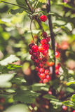 Rote Johannisbeeren im Garten Lizenzfreies Stockbild