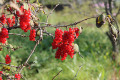 Rote Johannisbeeren sind im Garten reif Stockfoto