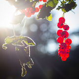 Rote Johannisbeerfrüchte in der Sonne Stockbild