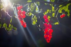 Rote Johannisbeerfrüchte in der Sonne Lizenzfreie Stockbilder