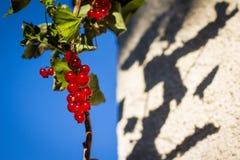 Rote Johannisbeerfrüchte in der Sonne Lizenzfreie Stockfotografie