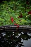 Rote Johannisbeerniederlassung mit Beeren, nahe dem Wasser stockfoto
