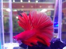 Rote kämpfende Fische auf dem Wasser stockfotos
