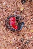 Rote Körner von Mais in eingesperrte Zufuhren Stockbilder