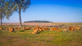 Rote Kühe auf der Wiese Stockbild
