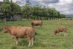 Rote Kühe, die in einer Ranch weiden lassen lizenzfreies stockbild