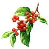 Rote Kaffeearabicabohnen auf der Niederlassung lokalisiert, Aquarellillustration vektor abbildung