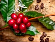 Rote Kaffeebohnen auf einer Niederlassung Lizenzfreie Stockfotografie