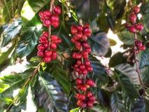 Rote Kaffeebohnen auf grünen Blättern in einem Kaffeegarten stockfotos