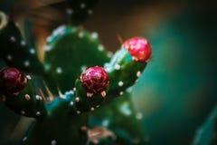 Rote Kaktus-Blume stockfotos