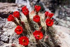 Rote Kaktusblumen Lizenzfreie Stockfotos