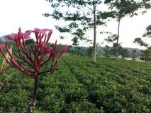 Rote Kambodscha-Blume stockfotos