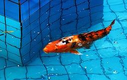 Rote Karpfenschwimmen stockbild
