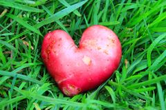 Rote Kartoffeln in Form eines Herzens stockfotos