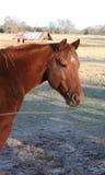 Rote Kastanie-Gelding Viertelpferd Stockfotos