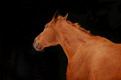 Rote Kastanie ziehen Pferdeportrait in der Aktion auf schwarzem Hintergrund an Lizenzfreie Stockfotos