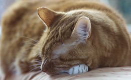 Rote Katze Stockbilder