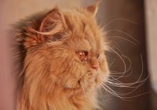 Rote Katze Stockfoto