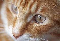 Rote Katze Stockfotografie