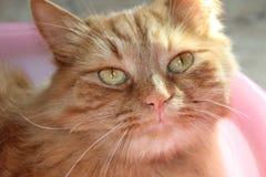 Rote Katze Lizenzfreie Stockfotografie