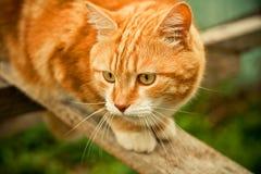 Rote Katze Lizenzfreies Stockbild