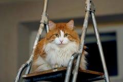 Rote Katze auf Bockleiter Stockfotografie
