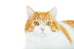 Rote Katze auf dem weißen Hintergrund Lizenzfreies Stockfoto