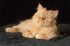 Rote Katze auf einem schwarzen Hintergrund Stockbilder
