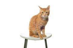 Rote Katze auf einem weißen Hintergrund, der auf einem Stuhl sitzt Stockfoto