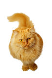 Rote Katze auf einem weißen Hintergrund, der oben schaut Stockfoto