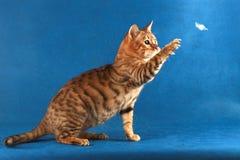 Rote Katze der getigerten Katze fängt eine Feder Lizenzfreies Stockfoto