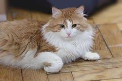 Rote Katze in der Meditation lizenzfreie stockfotos