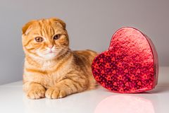 Rote Katze der schottischen Falte mit rotem Herzkasten lizenzfreie stockfotografie