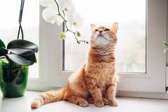 Rote Katze des Ingwers, die auf dem Fensterbrett nahe der Orchidee sitzt stockfoto