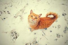 Rote Katze, die auf den Schnee geht Stockfotografie